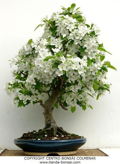 Tienda Bonsai Shop - Precioso ejemplar de malus halliana. A la venta en tienda-bonsai.com y en Centro Bonsái Colmenar.