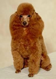 Resultado de imagem para cão poodle preto