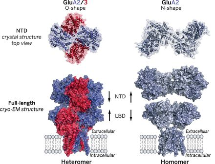 Structure and organization of heteromeric AMPA-type glutamate receptors | Science