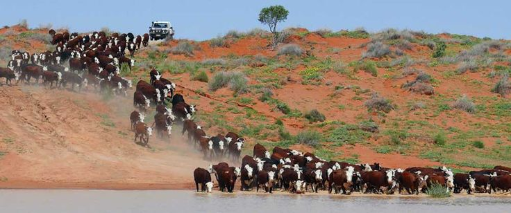 OBE Organic cattle in the Channel Country, Australia
