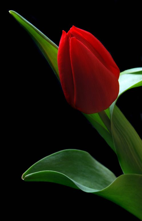Red Tulip by Terrence Davis
