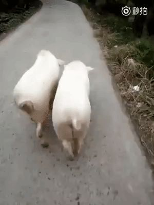 The may walk like models, but one look at their faces and you know they are PIGS