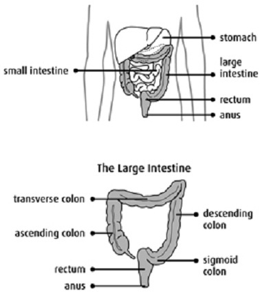Most colorectal cancers start in the cells that line the inside of the colon or the rectum.    Colorectal cancer usually grows slowly and in a predictable way. It is curable when diagnosed at an early stage.