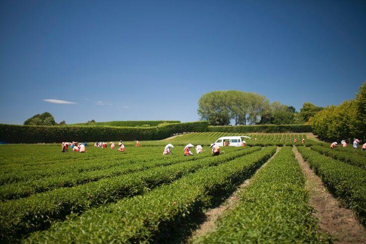 Tea harvesting at Zealong Tea Estate, Hamilton, New Zealand