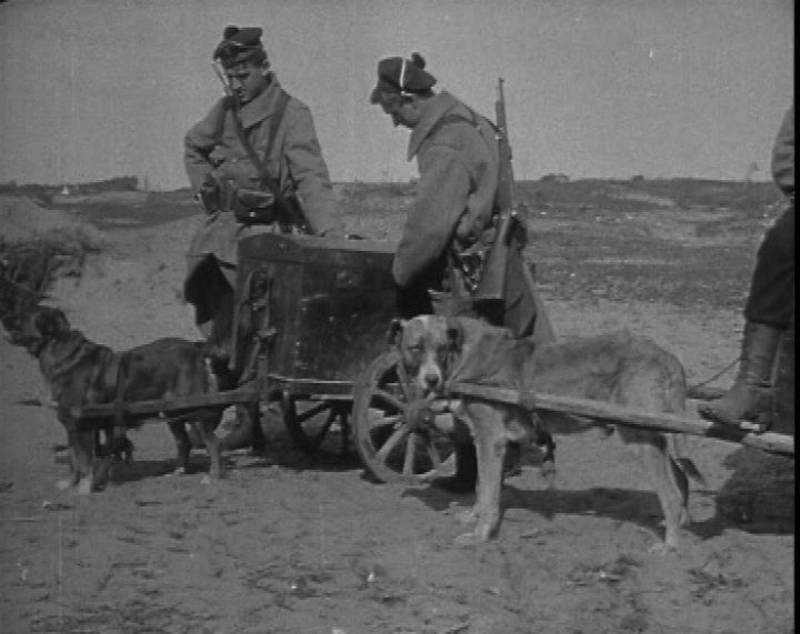 Dogs played crucial roles in WW1. In fact they proved to be just as dependable as soldiers. Their jobs were diverse in combat - roles included: sniffing out enemies, carrying supplies, finding the wounded, delivering messages and companionship. About a million dogs died during the First World War. As this still shows, dogs helped carry supplies. Here they are pulling small carts of military supplies and ammunition over the difficult terrain.