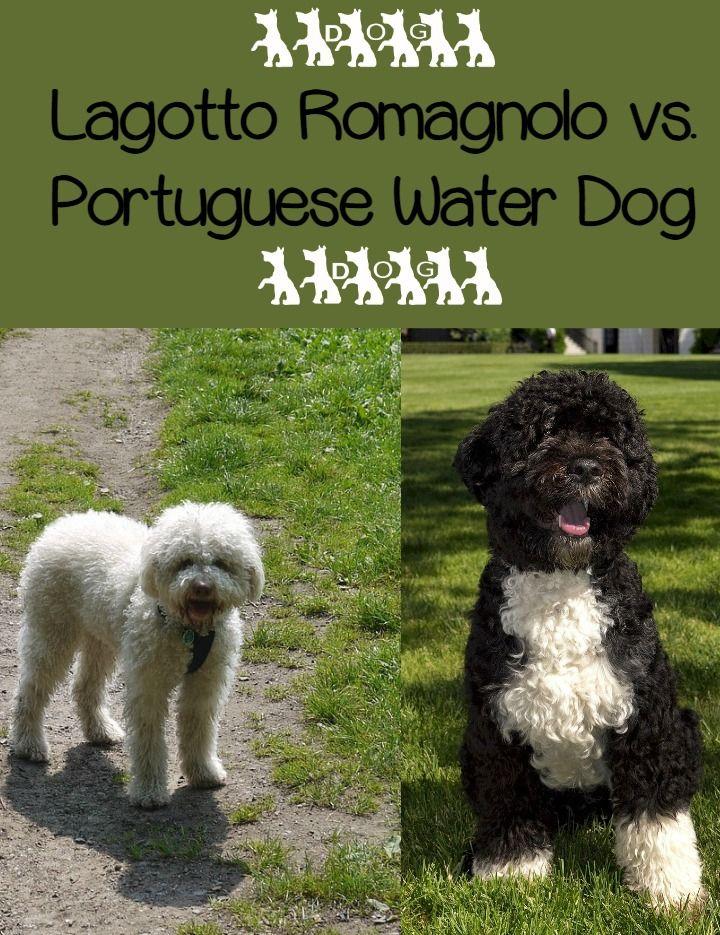 Lagotto Romagnolo Vs Portuguese Water Dog Portuguese Water Dog Lagotto Romagnolo Dogs