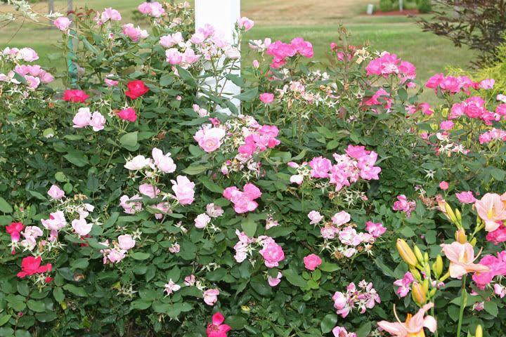 Blushing Knockout Rose | 1032 Main Street Roses | Pinterest ...
