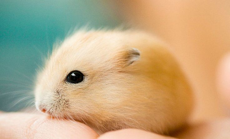 hamster that's too cute