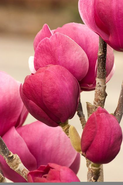 Saucer Magnolia; this also comes in a white variety-very prevalent is Seattle in May, and delightful to look at.