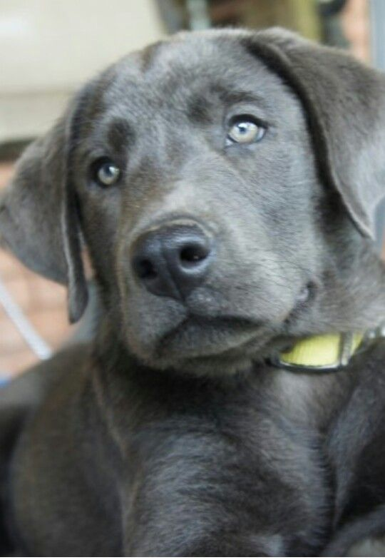 Charcoal lab- my new addition!!