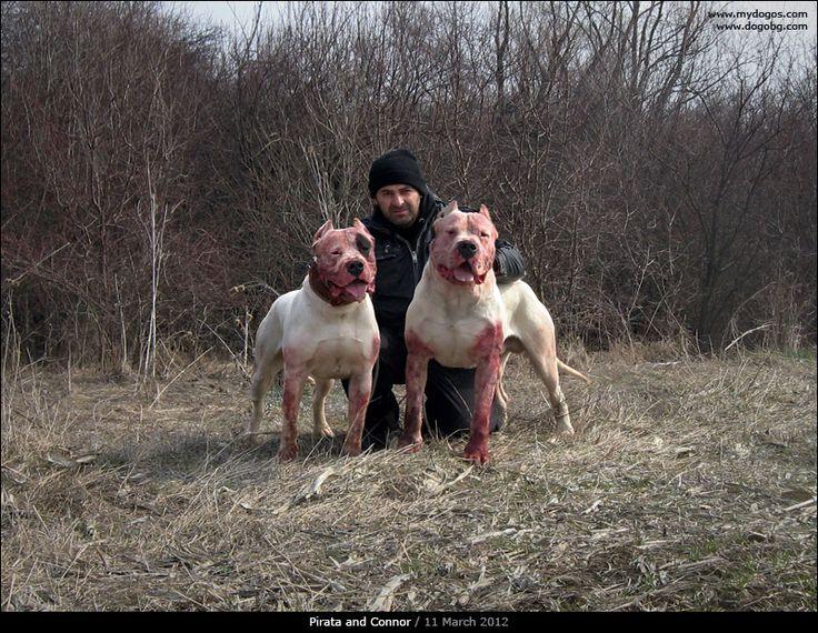 Hunting Dog Breeders Australia