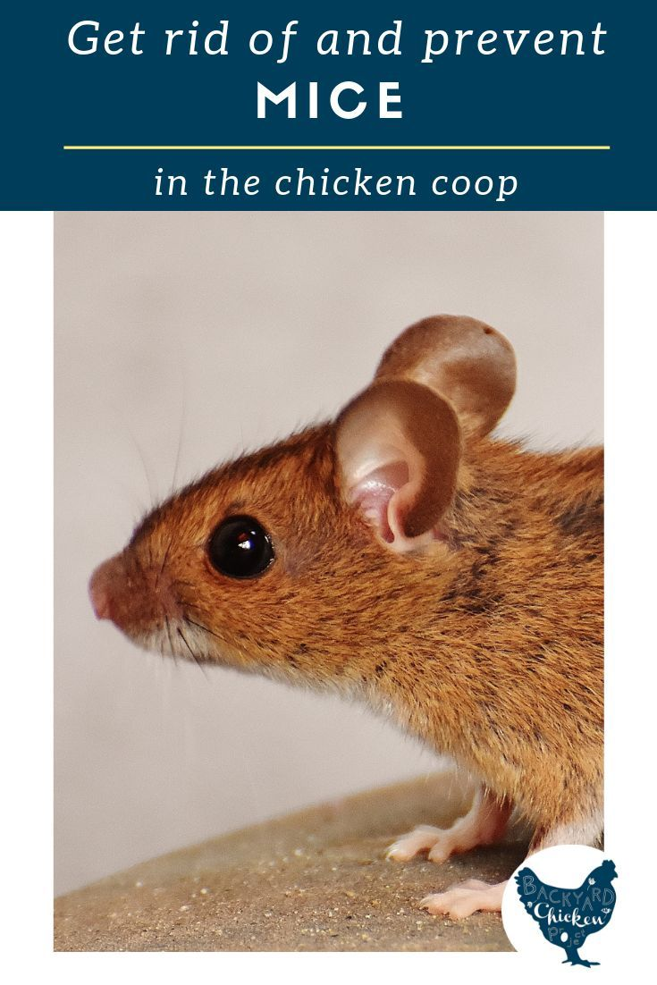 How to Get Rid of Mice in the Chicken Coop | Getting rid ...