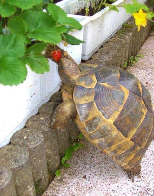 Tortoise having a bite of strawberry