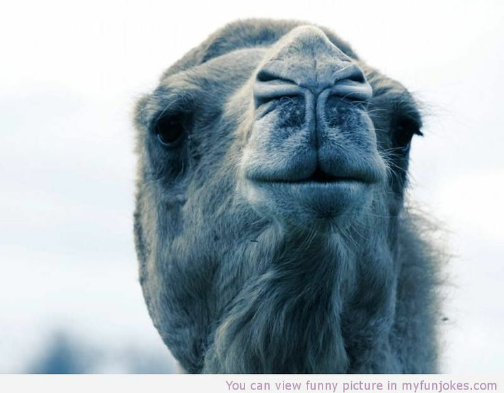 Camel! very funny - http://www.myfunjokes.com/other-funny/camel-very-funny/ #funny  #jokes  #funnyimages  #funnyanimal  #cat  #haha  #cute
