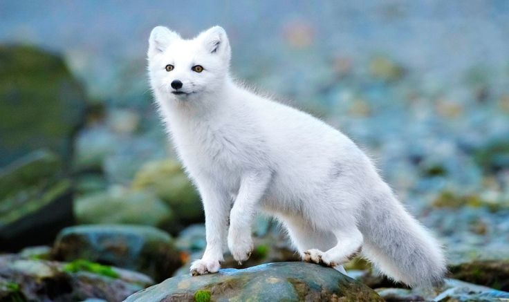 Песец (фото): Белая лисица, забравшаяся за полярный круг