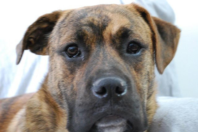 Boxer German Shepherd Mix Animals For Me Pinterest