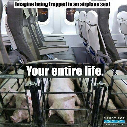 Imagine being trapped in an airplane seat your ENTIRE life. Please go Vegan. ❤ {Mercy for Animals}️