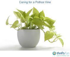 caring for a pothos vine pothos vinebest indoor plantsindoor