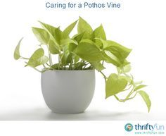 This is a guide about caring for a pothos vine. Pothos vines are a very easy to grow and care for houseplant. Your biggest challenge will be to keep it from taking over your house.