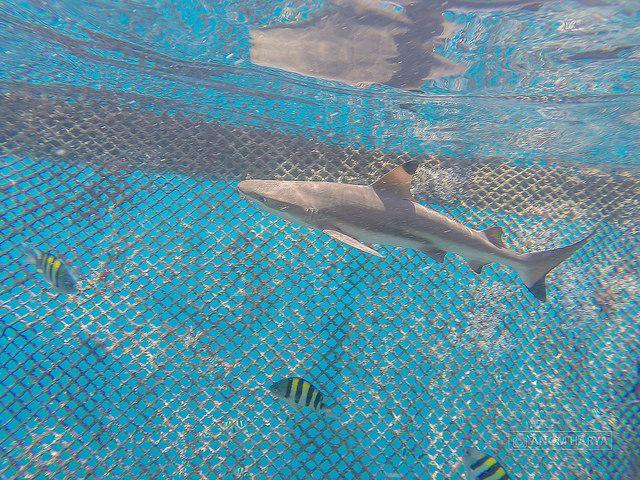 Bangsring – Serunya Snorkling Bareng Hiu