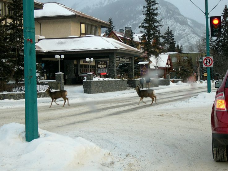 Animal crossing on Main Street in Banff, Alberta, Canada during winter.