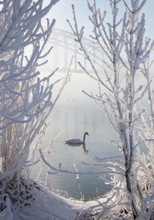 Winter in Zwolle. White swan on the IJssel and the IJsselbridge on the background