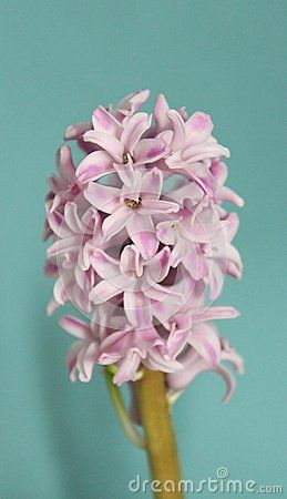 A beautiful Hyacinth with blue background