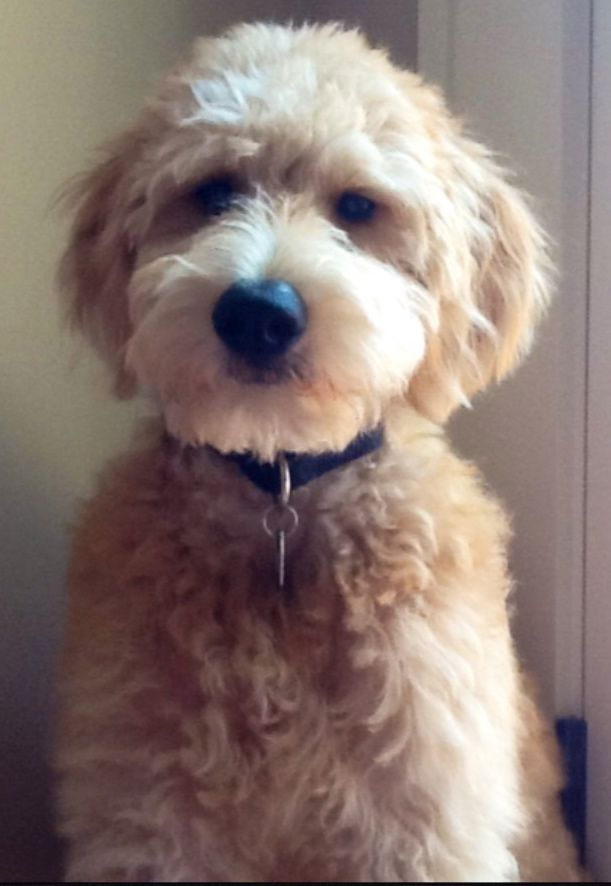 25+ best ideas about Medium goldendoodle on Pinterest ...