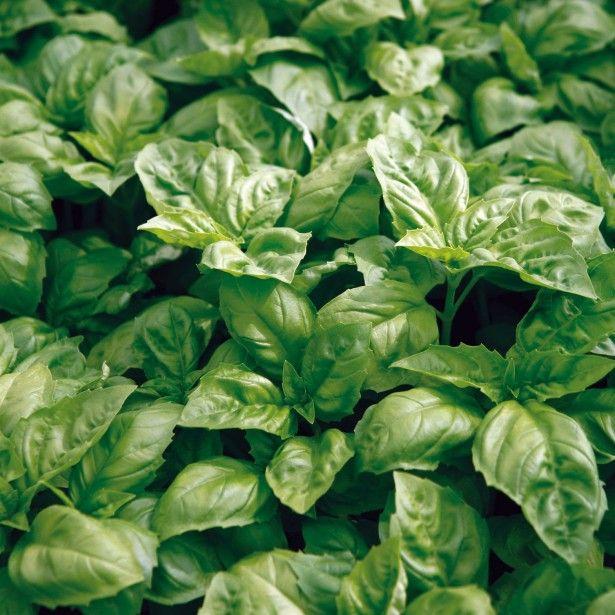 77 best plantes non toxiques pour les chats images on pinterest indoor house plants green - Plante non toxique pour chat ...