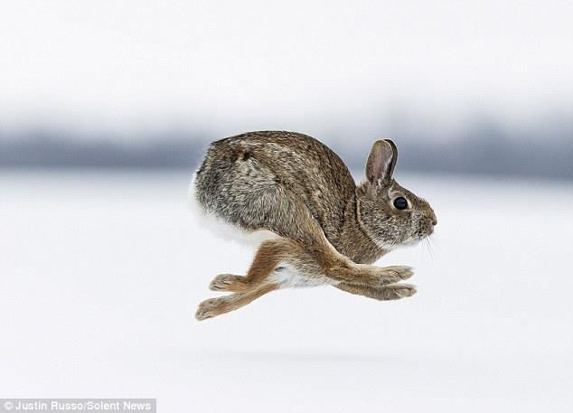 Wild Rabbit, we have these in our yard, this photo so explains the foot patterns we see in the snow in winter that have never really made sense