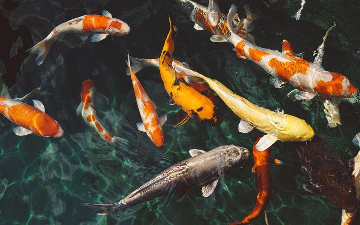 Download wallpapers Koi, colorful fish, Japan, lake, koi carps, Cyprinus carpio, nishikigoi