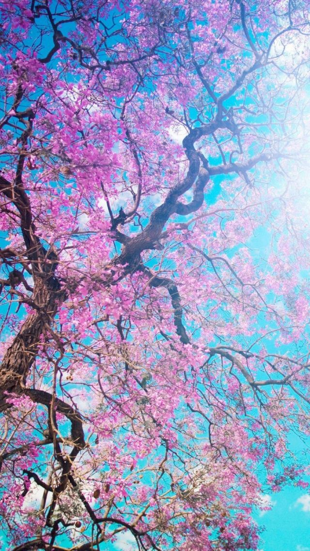 Download Cherry Blossoms Tree Branches IPhone 5 Wallpaper
