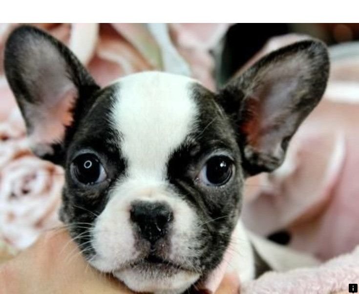 Click On The Link To Read More About Teacup Pugs For Sale Simply