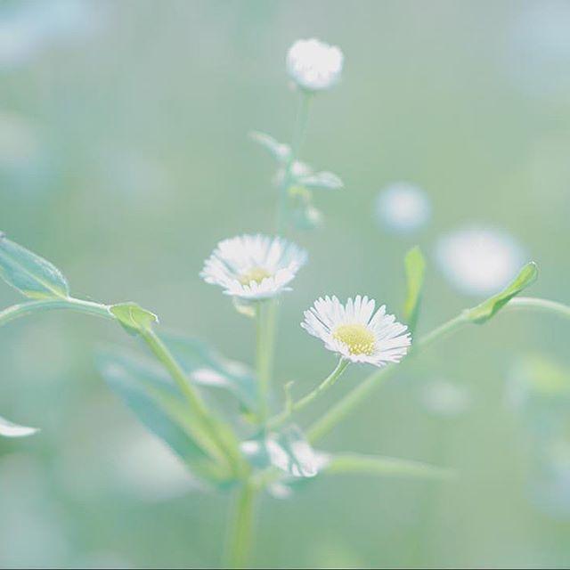 via Instagram 2017/07/20 20:54:33  lelekamelovemarron またまた帰ってから、西陽の差す近くの畑?花畑?に行って、これまた逆光で📷✨ また花の名前がわからない😣 この花は絶対にソフトハイキーだって思って、カメラをソフトハイキーにセットしたら、逆に明る過ぎて、マイナス1補正😅訳わからない使い方しちゃってます😣 小さな花だし、寄れないしってことで、またまた全画素超解像ズーム使いました😜 ・ ・ #花 #何花 #白い花 #小さい花 #逆光 #ソフトハイキー #マイナス補正 #全画素超解像ズーム  #sonya6000 #sony #a6000 #sel50f18 #単焦点レンズ #写真好きな人と繋がりたい #ファインダー越しの私の世界 #ファインダー越しの僕の世界
