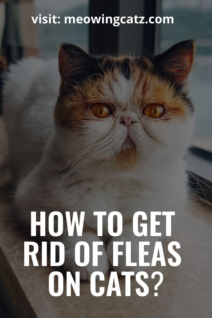 Can You Get Fleas From A Cat How To Tell If Your Cat Has Fleas What Are The Sign Of Fleas Uin Cats And What To Do When Your Cat Has Fleas Ch Fleas On Kittens Cat Has