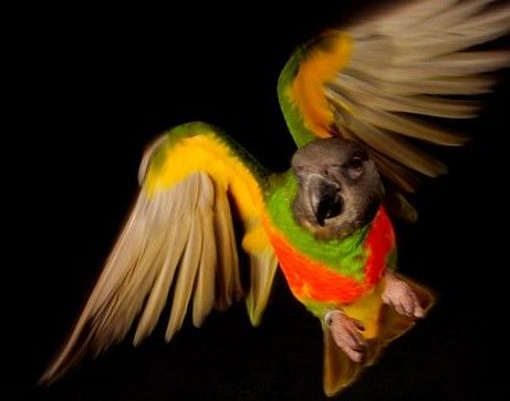 Teach your bird to fly to you on cue! Online course | Understanding Parrots