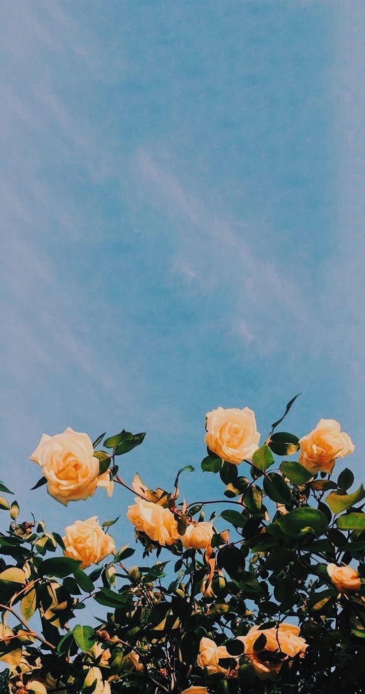 Yellow Rose Iphone Wallpaper Flower Aesthetic Aesthetic Iphone
