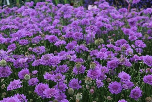 Bright violet flowers which bloom from early spring to autumn on low lacy green foliage. Perfect choice for planting under roses, in garden beds and perennial borders.