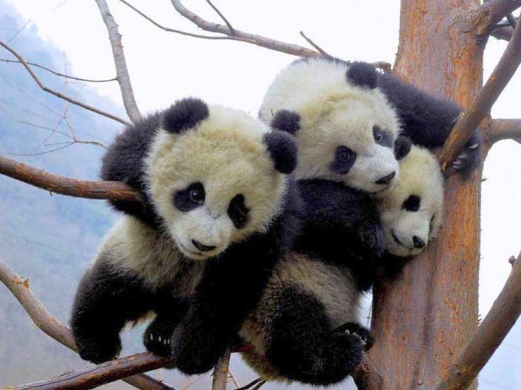 cute baby panda, tier, reizend, Niederlassungen