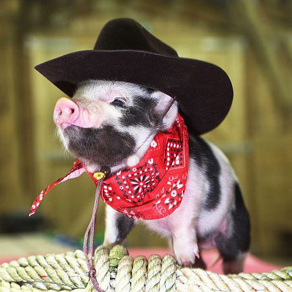 Cowboy pet pig. So cute!
