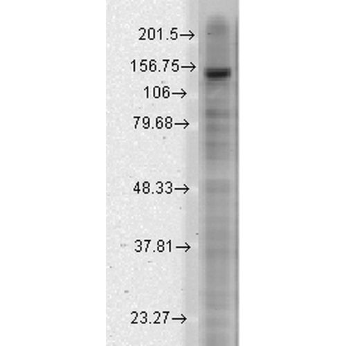 Mouse Anti-Slo2.1 Potassium Channel Antibody [S11-33] used in Western Blot (WB) on Rat brain membrane lysate (SMC-324)
