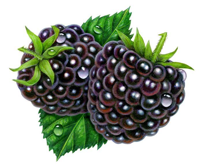 blackberry fruit clipart - photo #18