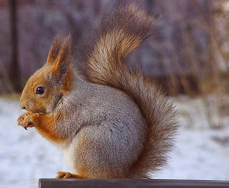 eurasian red squirrel | The News For Squirrels: Squirrel Facts: The Eurasian Red Squirrel