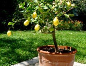 Cultiver des agrumes en pots
