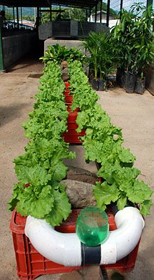 Hydroponic setups growing some very healthy lettuce/