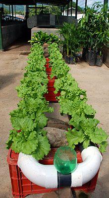 metodo de hidroponia para cultivar lechugas en este metodo se utiliza liquido nutritivo para que las lechugas crescan en un medio en el que no están plantadas en un jardín sino en unos tubos por los que fluye agua Mariana Leaña 13 de mayo de 2015