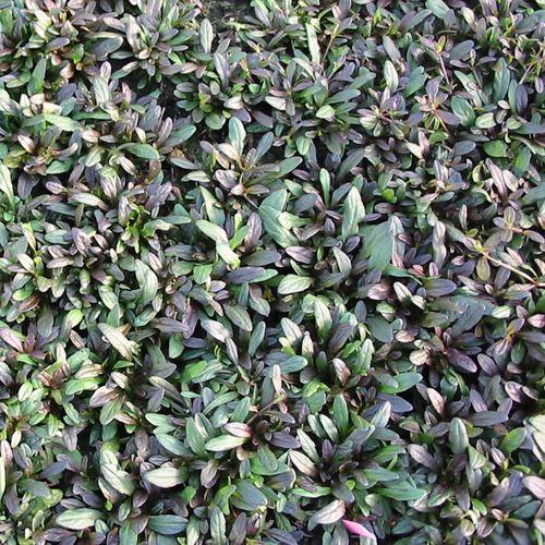 AJUGA tenorii 'Valfredda' (Bugle) : Excellent couvre-sol persistant pour sol humifère ou ordinaire, mais jamais très sec. Supporte le soleil en sol frais. Fleurs en épis. Bordure, tapis. Feuillage étroit, vert nuancé pourpre marron et chocolat foncé pour les jeunes pousses, décoratif toute l'année. Fleur bleu violacé.