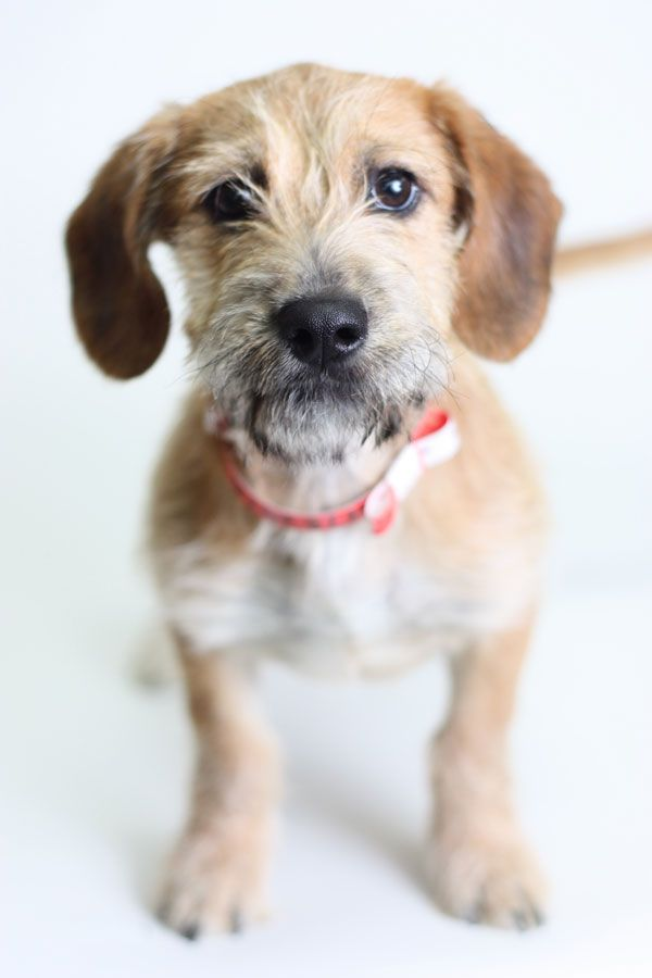 11 best Wire-haired terrier mix images on Pinterest | Terrier mix ...