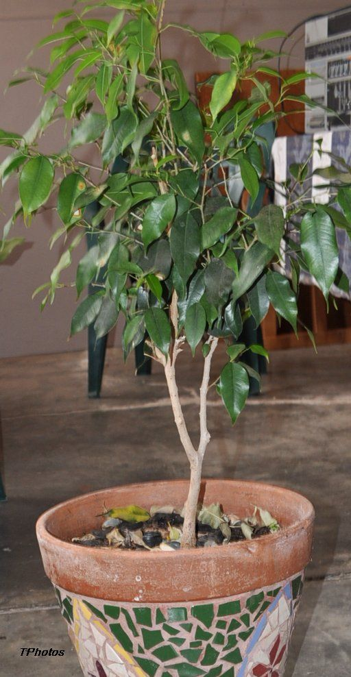 Frugal Gardening-Ficus plants are ideal to grow from cuttings - InfoBarrel Images
