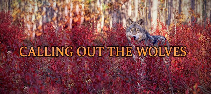 Calling Out the Wolves